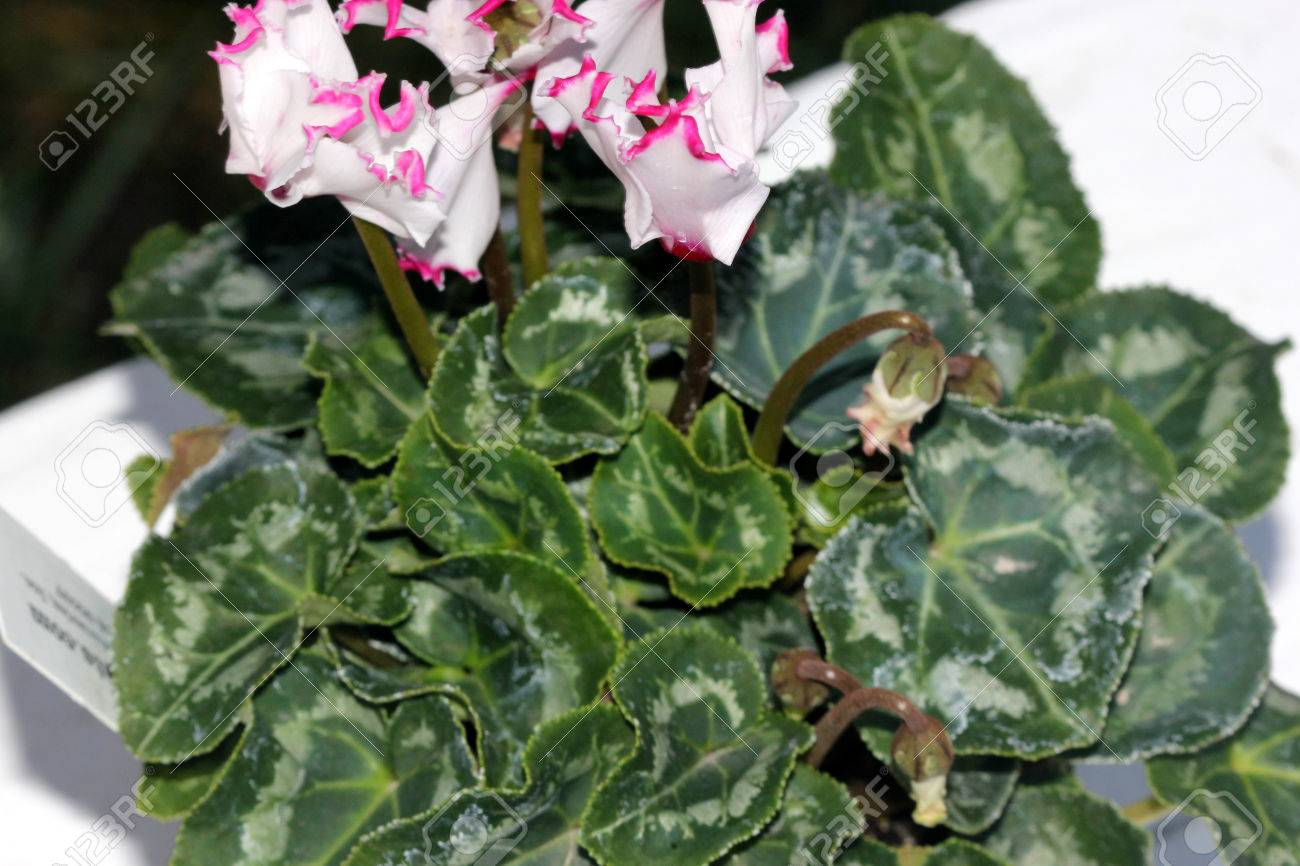 Immagini Stock Cyclamen Persicum Metis Select Victoria Cultivar