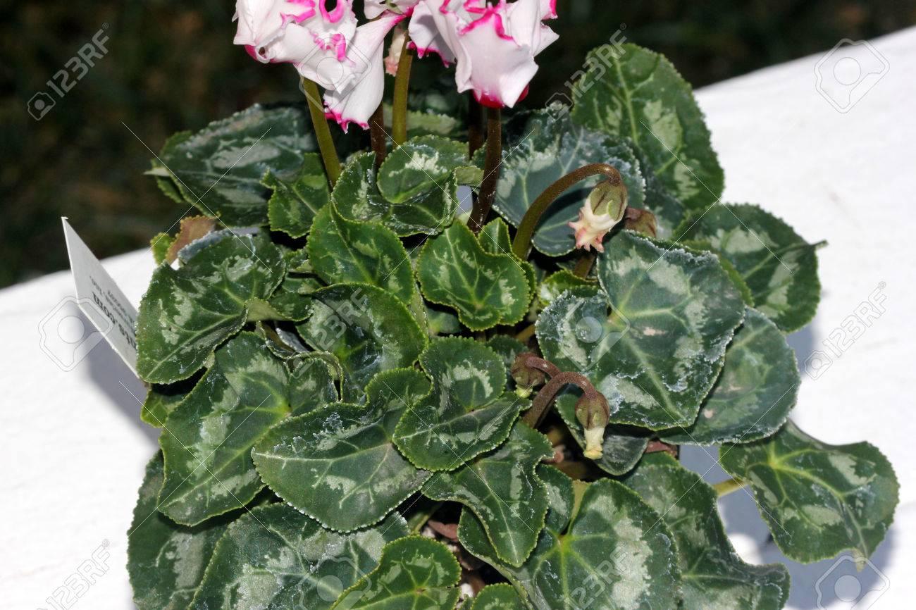 Pianta Verde Con Fiori Bianchi.Immagini Stock Cyclamen Persicum Metis Select Victoria Cultivar