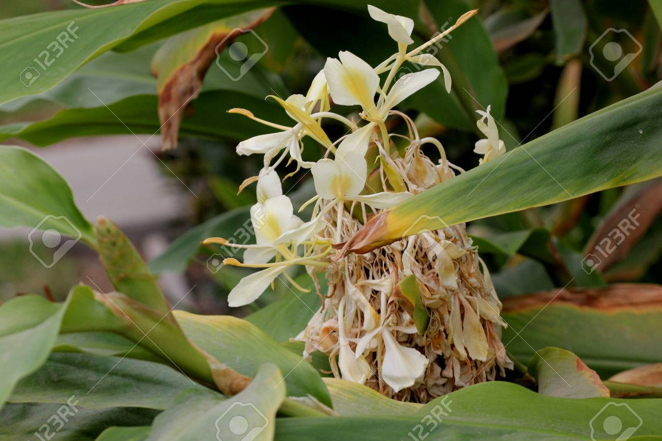 Hedychium Flavescens Lys Cremeux Gingembre Jaune Plante Vivace