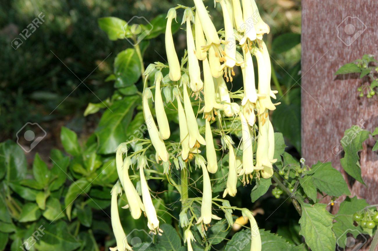 Phygelius Aequalis Yellow Trumpet Cape Fuchsia Hardy Perennial