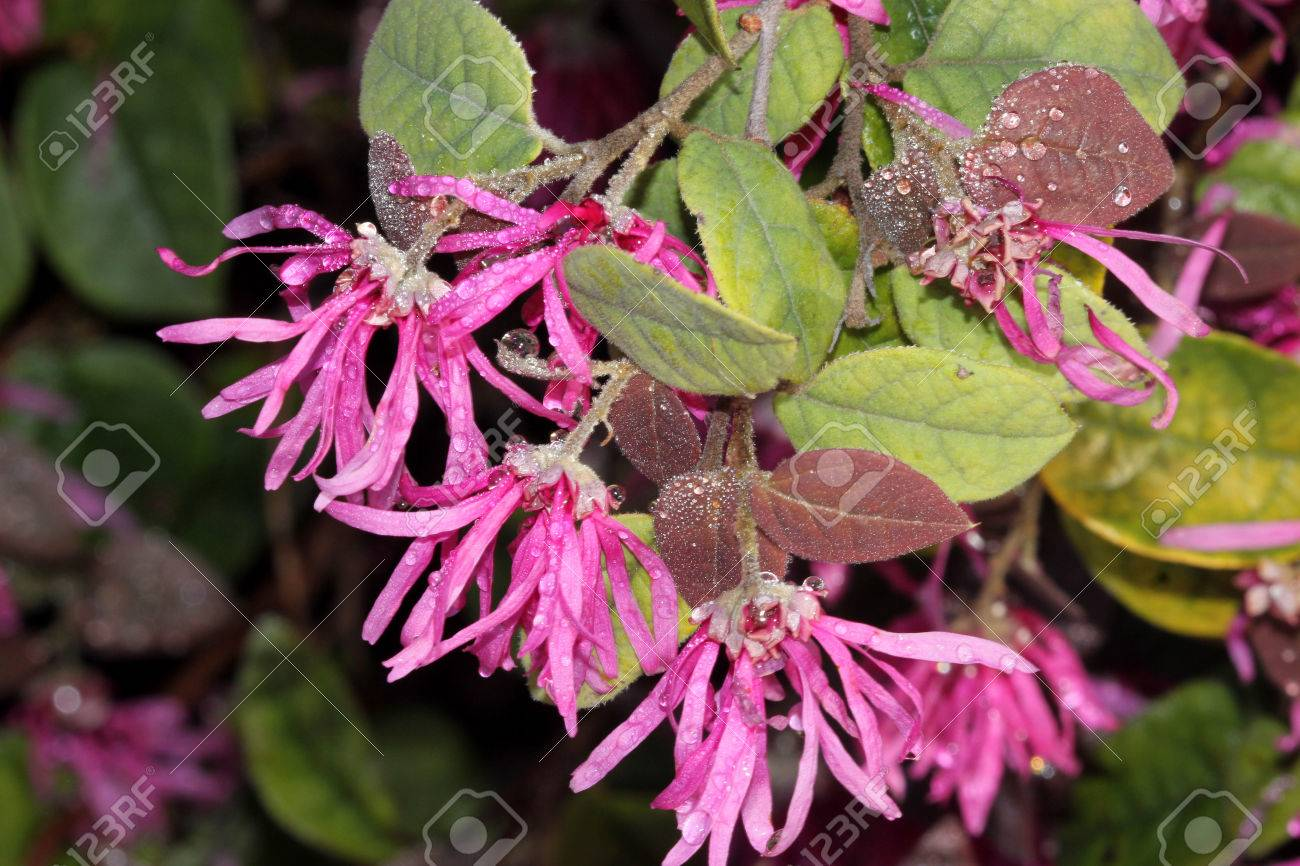 Loropetalum Loropetalum Chinense Purple Majesty Loropetalum