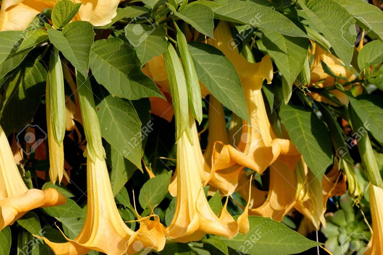 Suaveolens Brugmansia Angels Trumpet Arbuste Ou Arbre Avec Ovale