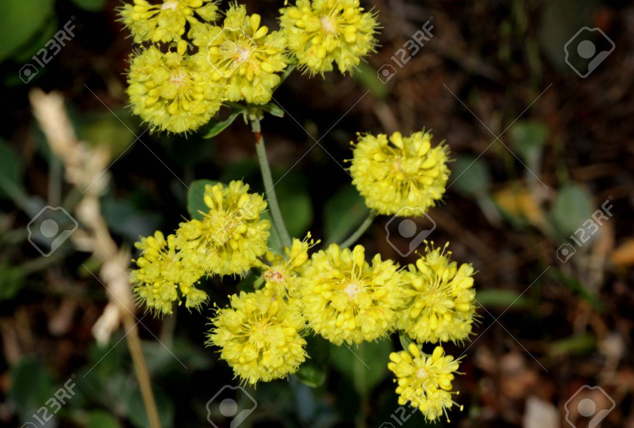 Eriogonum Umbellatum Sulphurflower Buckwheat Sulphur Flower
