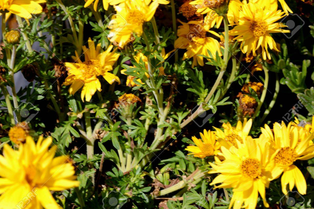 Bidens Ferulifolia Namid Compact Double Yellow Mound Forming Stock Photo Picture And Royalty Free Image Image 85106427