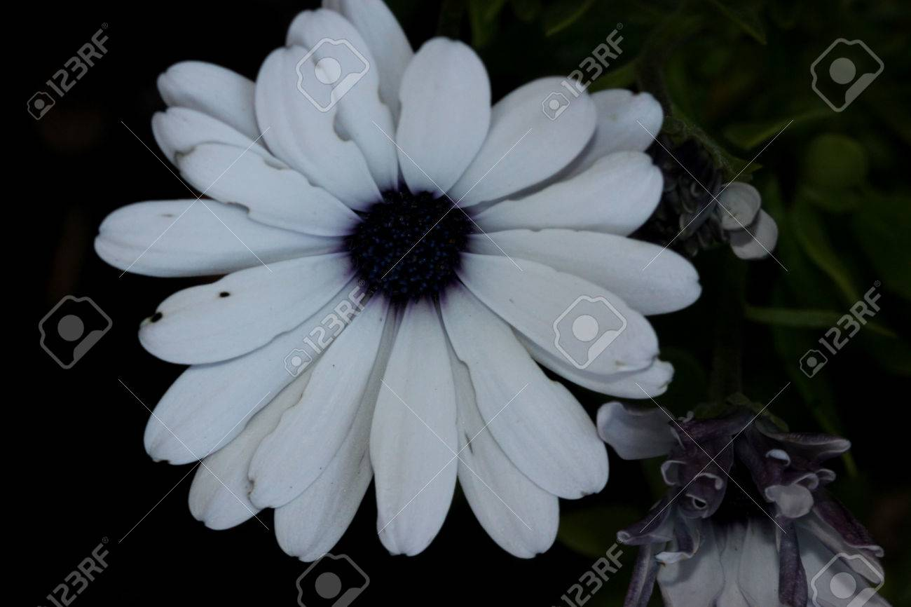 Osteospermum Ecklonis Akila White Purple Eye Subshrub With Rigid