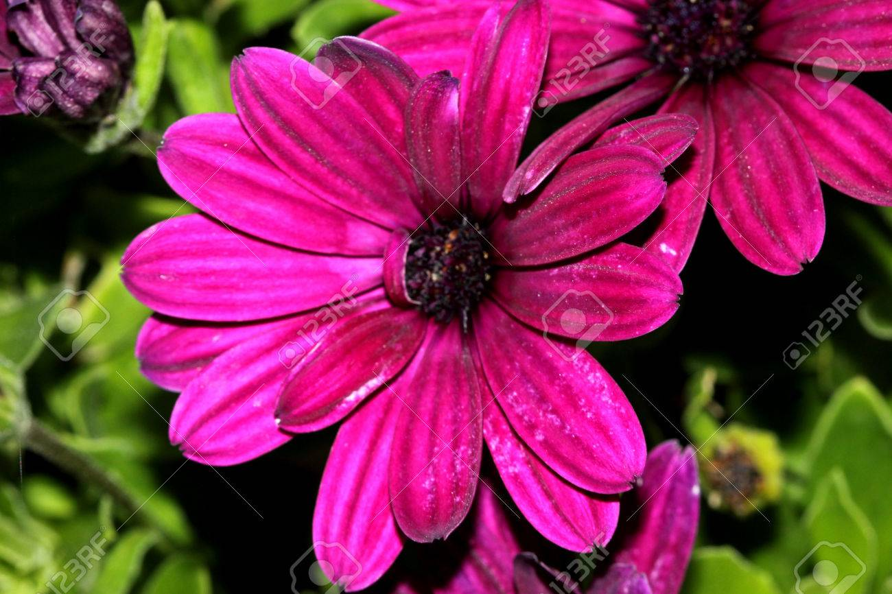 Osteospermum Ecklonis Asti Purple Subshrub With Rigid Pointed