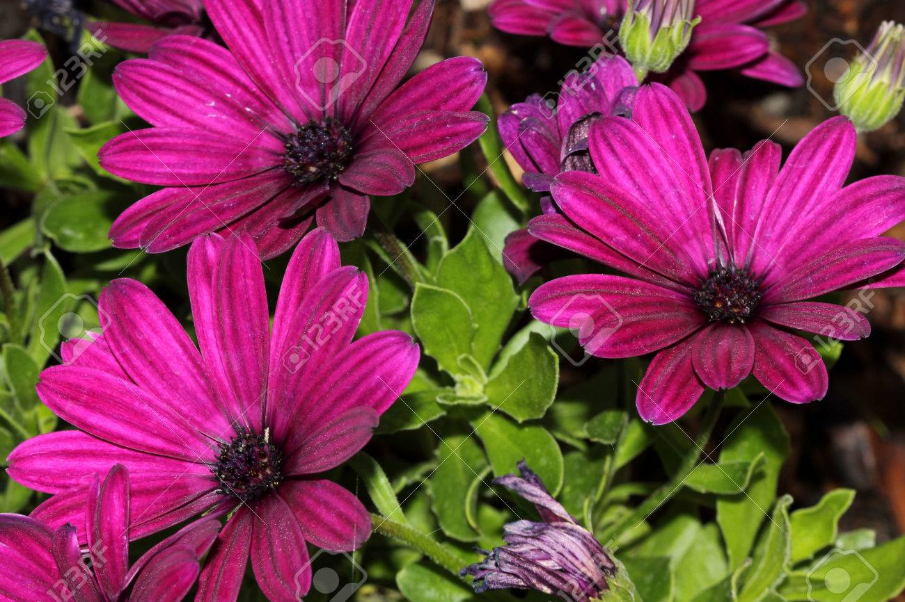 Osteospermum ecklonis asti purple subshrub with rigid pointed osteospermum ecklonis asti purple subshrub with rigid pointed leaves and stunning purple daisy like flowers izmirmasajfo