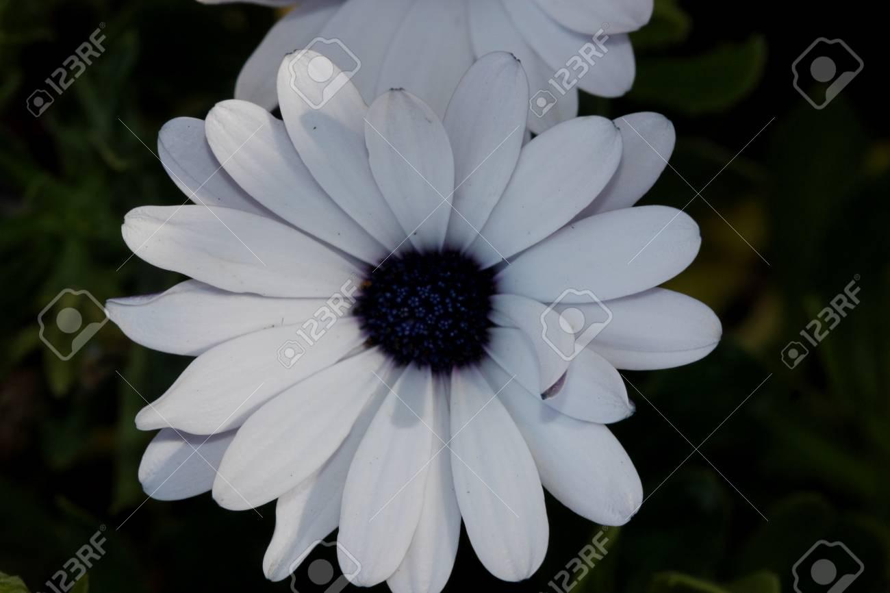 Osteospermum ecklonis akila white purple eye subshrub with stock osteospermum ecklonis akila white purple eye subshrub with rigid pointed leaves and stunning white daisy izmirmasajfo Images