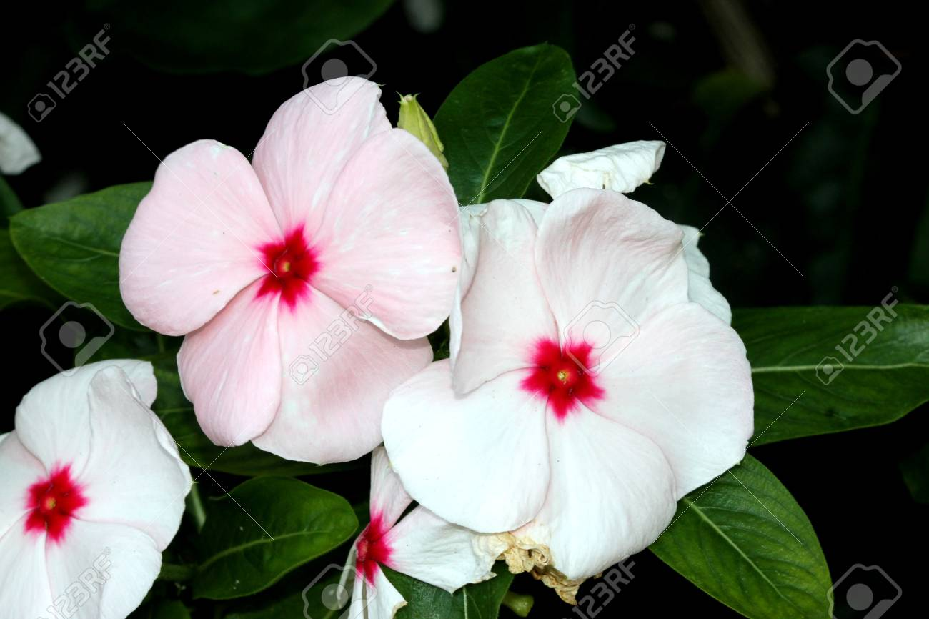 Catharanthus roseus white madagascar periwinkle vinca rosea catharanthus roseus white madagascar periwinkle vinca rosea evergreen perennial with woody base mightylinksfo