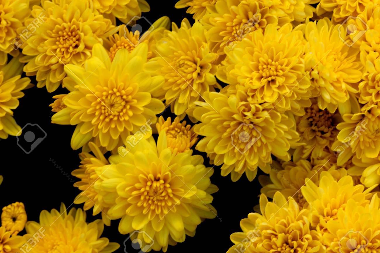Belgian Mum Allegra Yellow Chrysanthemum Morifolium Allegra Stock