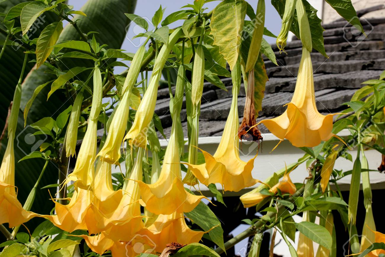 Brugmansia Suaveolens Angels Trumpet Shrub Or Tree With Oval