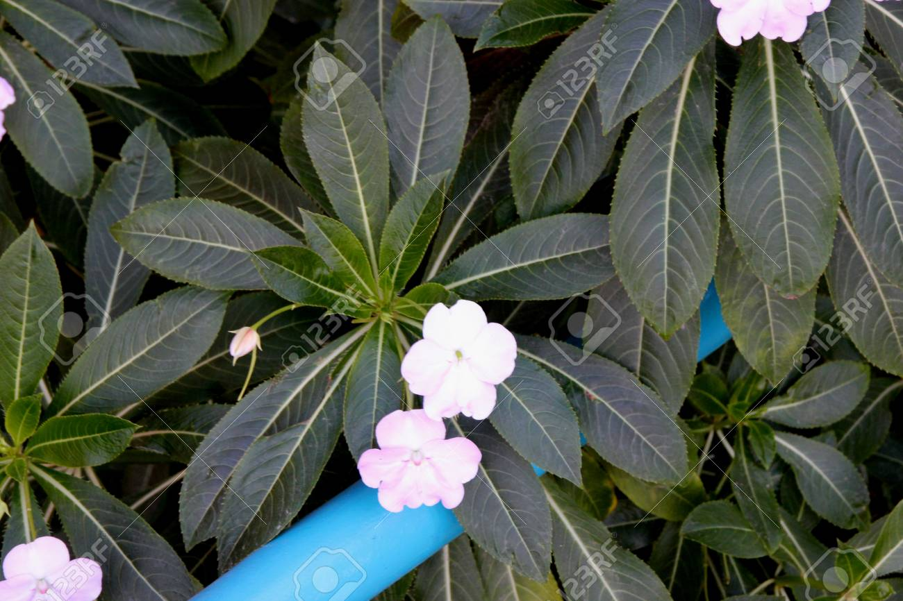 Poor Mans Rhododendron Impatiens Sodenii Bushy Perennial With