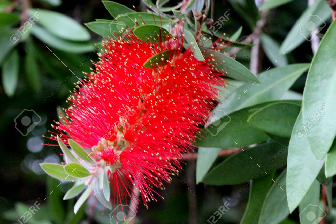 Gold tipped bottlebrush callistemon polandii shrub or small stock photo gold tipped bottlebrush callistemon polandii shrub or small tree with elliptic leaves with pointed tips red flowers with yellow anthers in mightylinksfo