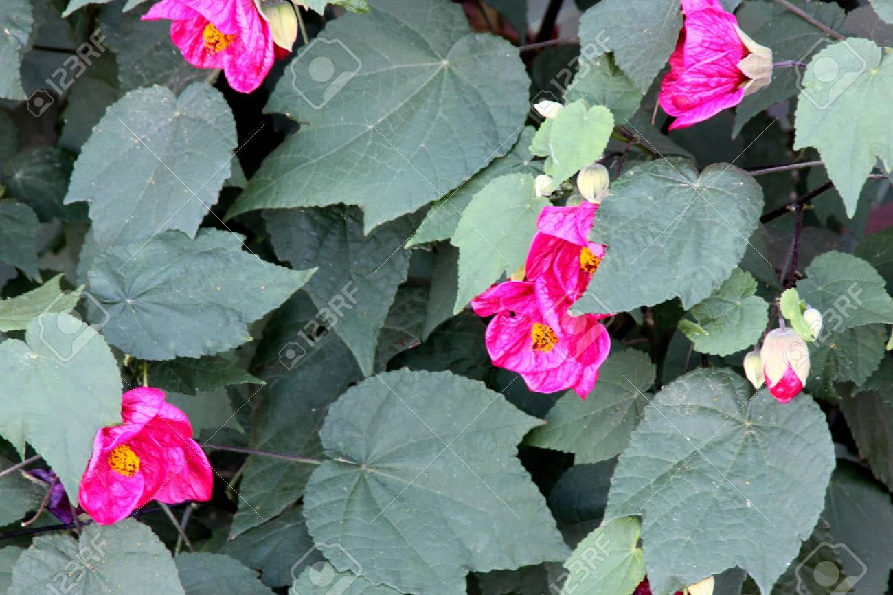 Pink Flowering Maple Abutilon Hybridum Pink Evergreen Shrub