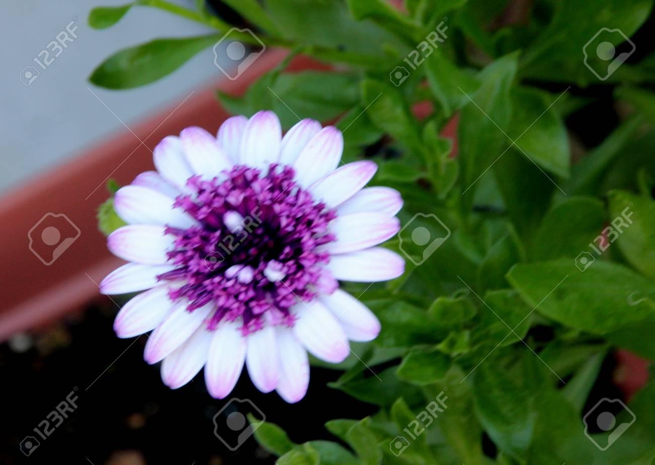 Osteospermum 4d Berry White Cultivar Hibrido Compacto Compacto Con