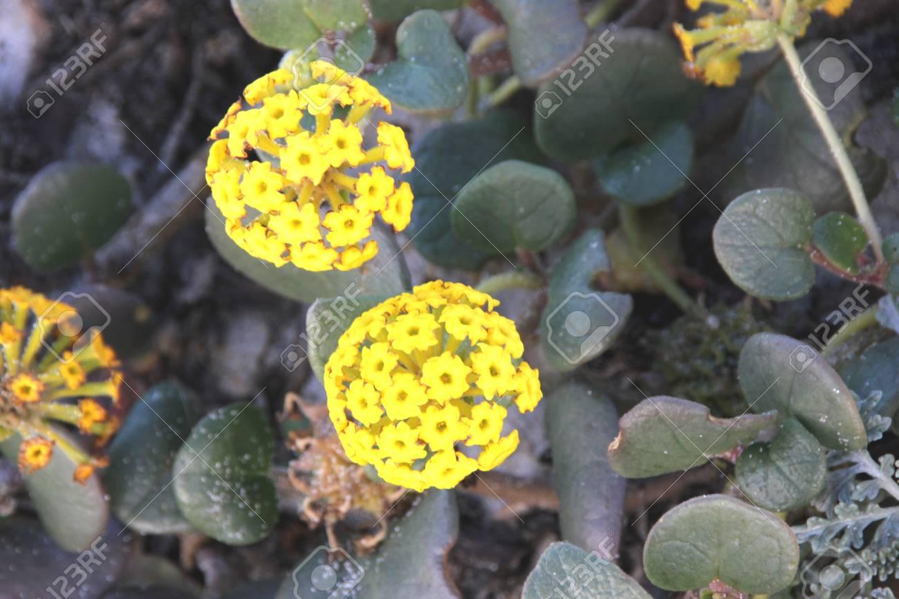 Coastal Sand Verbena Yellow Sand Verbena Abronia Latifolia