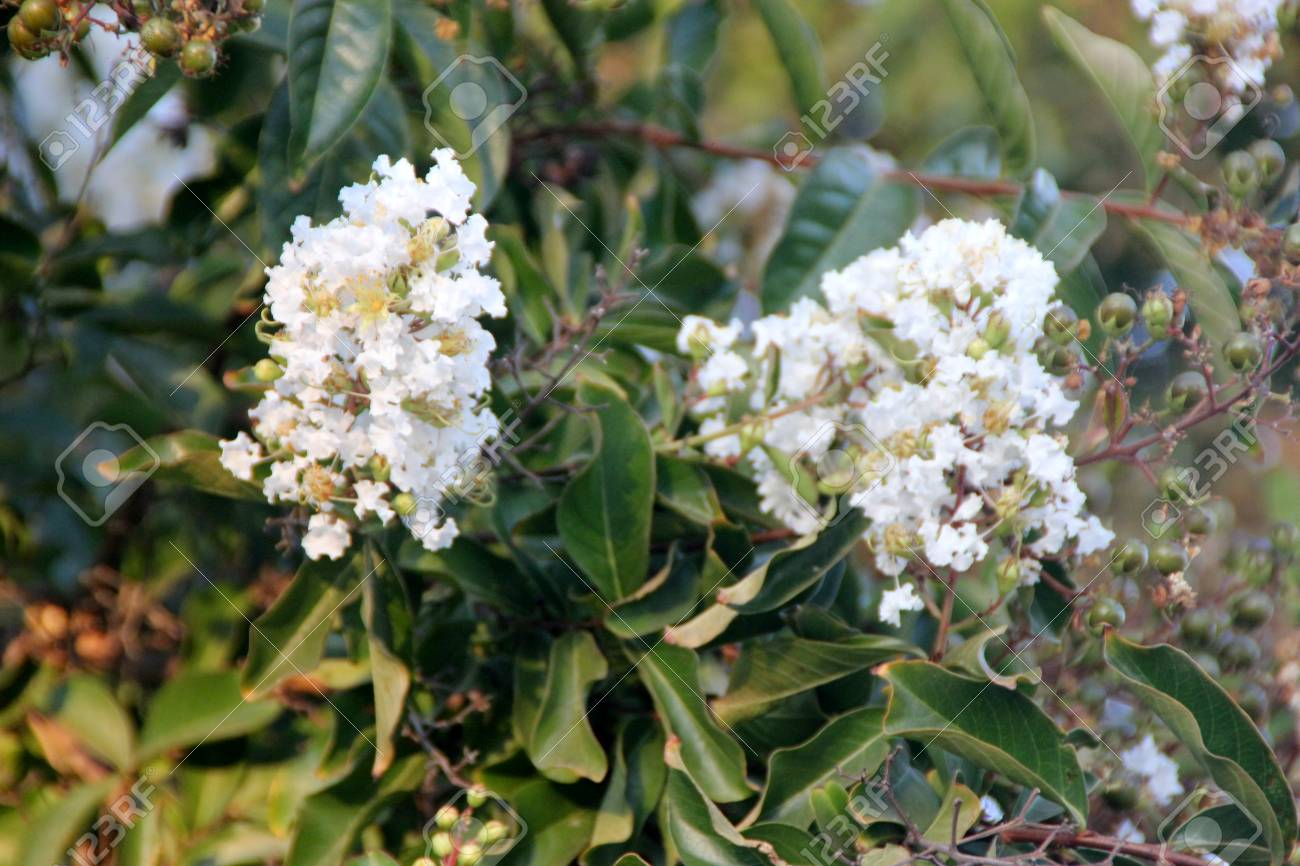 Lagerstroemia Indica, Crepe Myrtle, Crepeflower, Wide Spreading ...