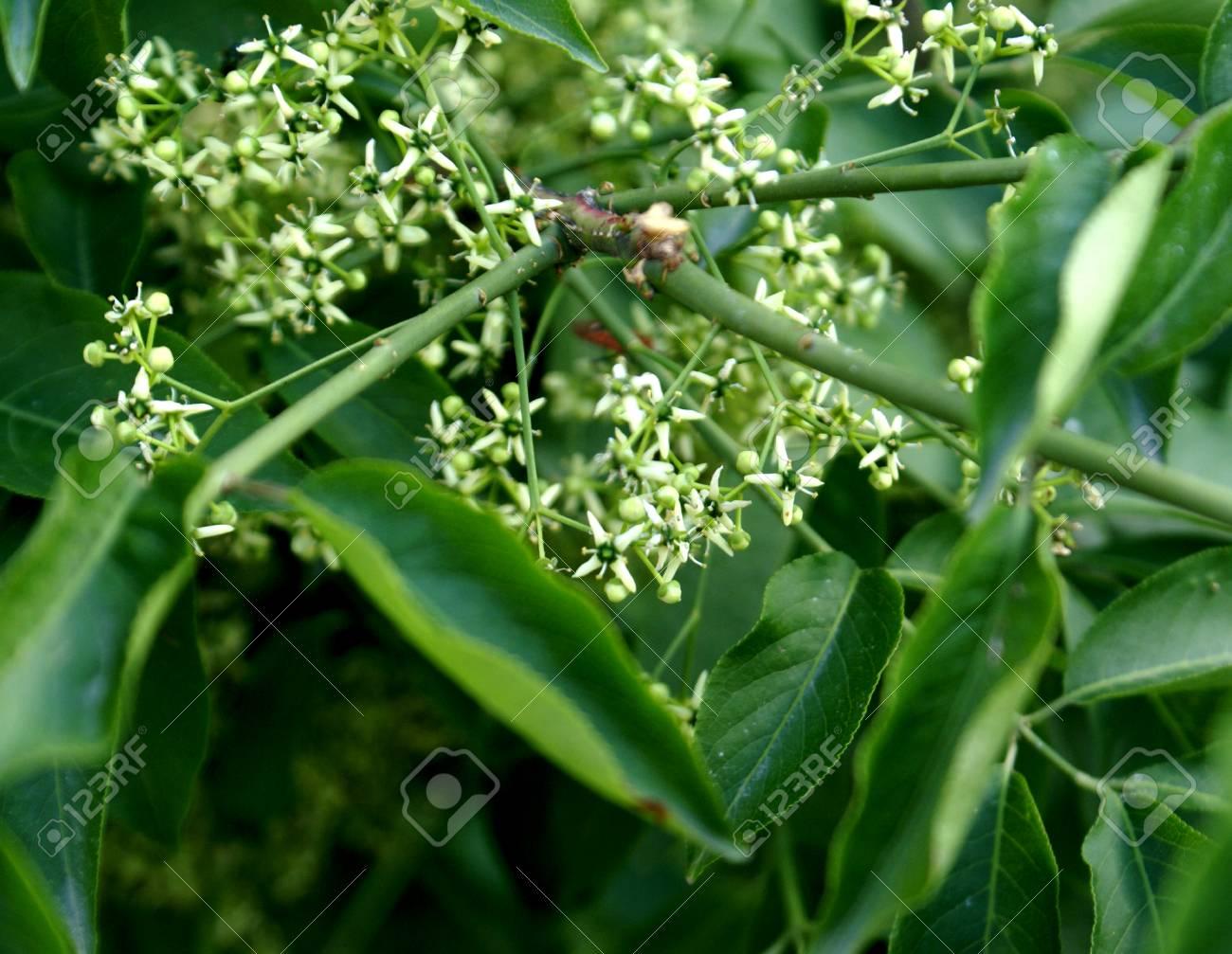 Hamiltons Spindletree Himalayan Spindle Euonymus Hamiltonianus