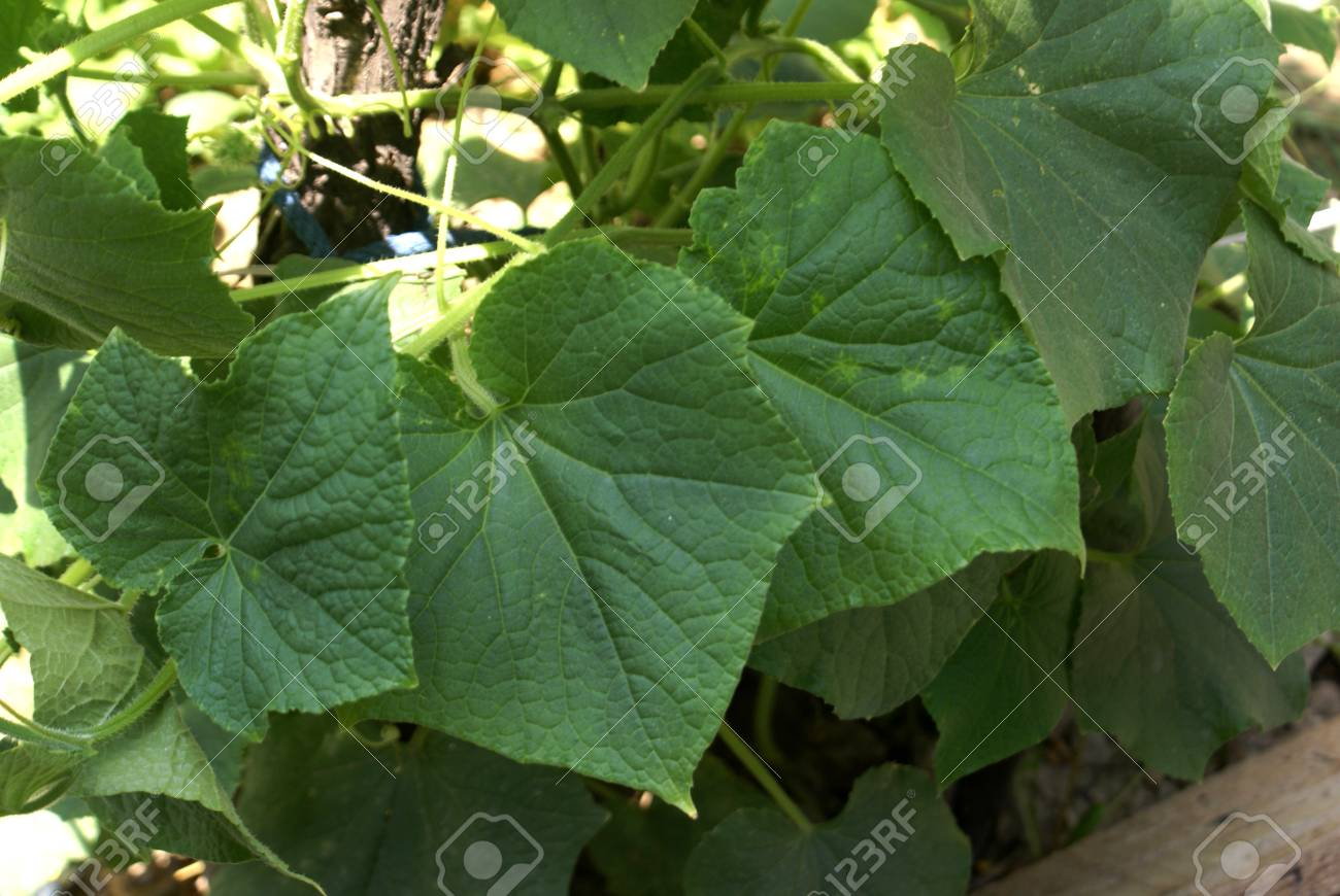 Cucumber vine with leaves and flowers cucumis sativus cultivated cucumber vine with leaves and flowers cucumis sativus cultivated with angled leaves small mightylinksfo