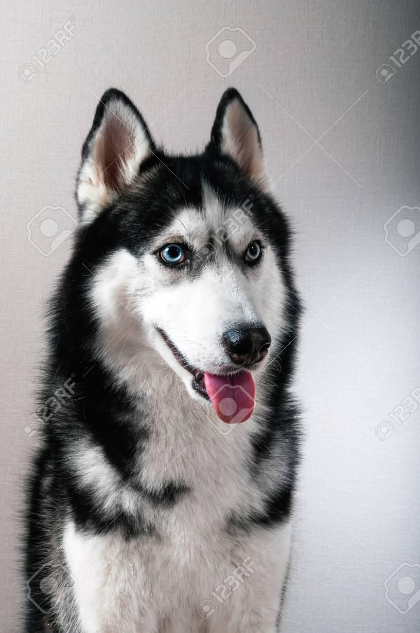 Portrait Of A Husky Dog Siberian Husky Black And White Color