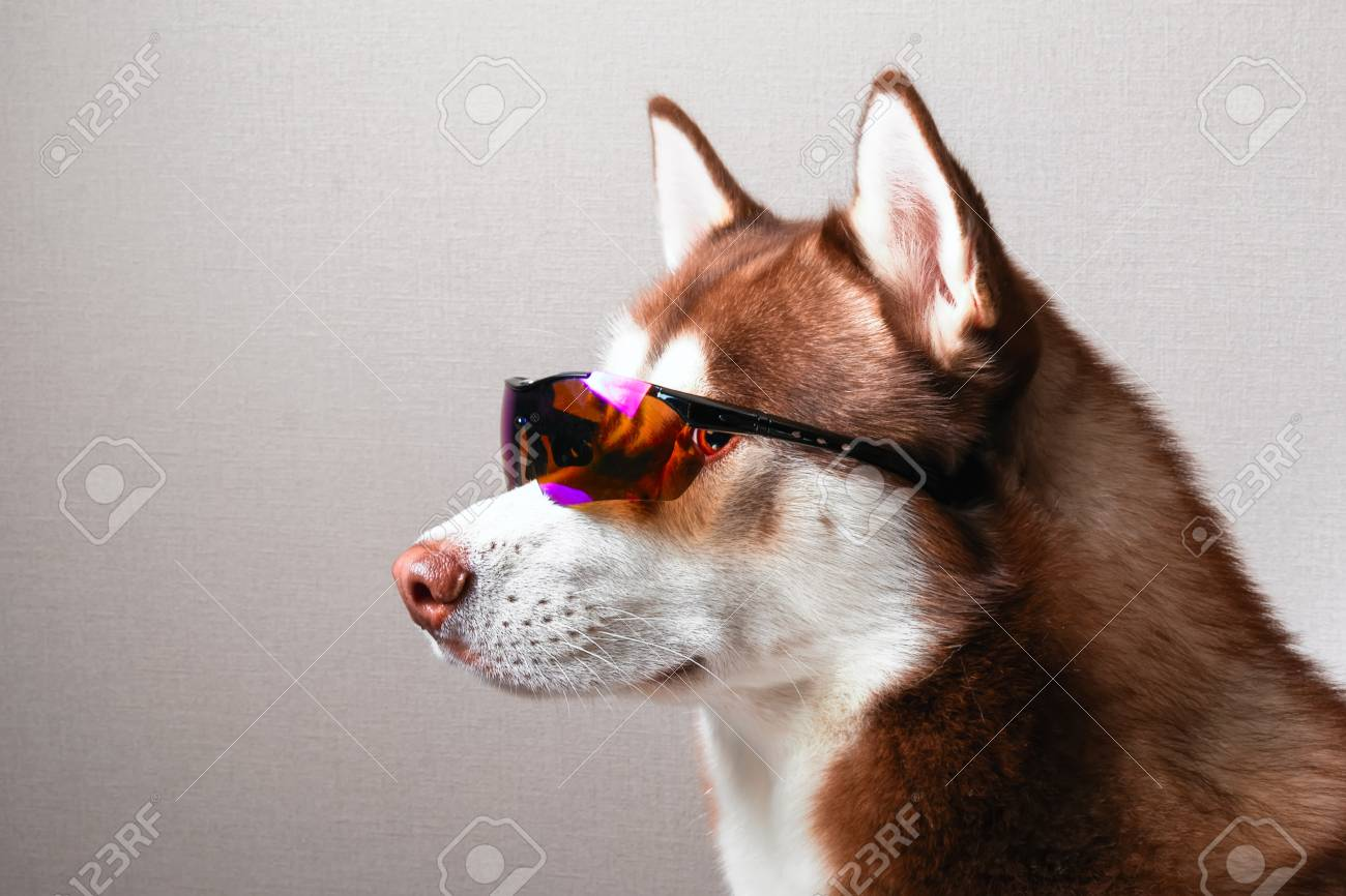 370a1f3b6e4 Husky dog in ski goggles. Portrait siberian husky in sunglasses. Stock  Photo - 93462565