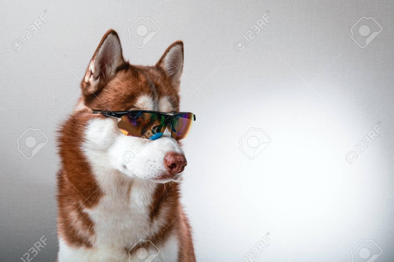 ba5b27e4279 Husky dog in ski goggles. Portrait red siberian husky in sunglasses. Stock  Photo -
