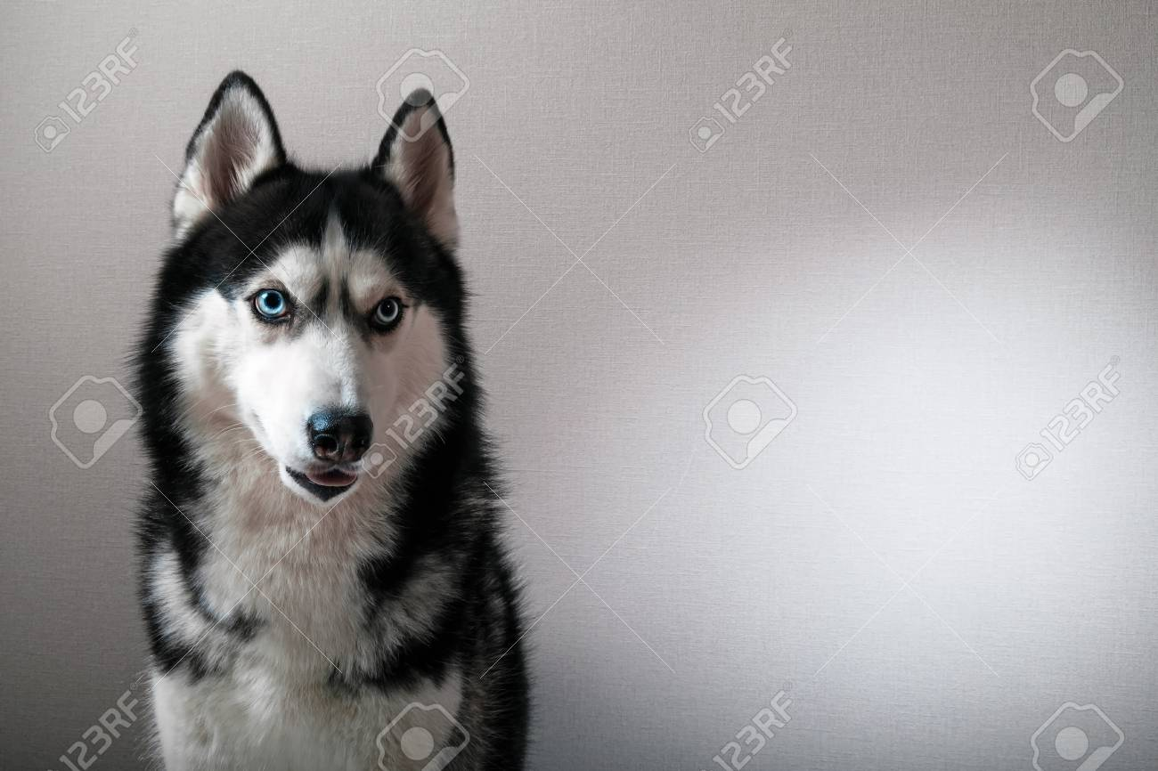Studio Portrait Of A Beautiful Siberian Husky With Blue Eyes Stock
