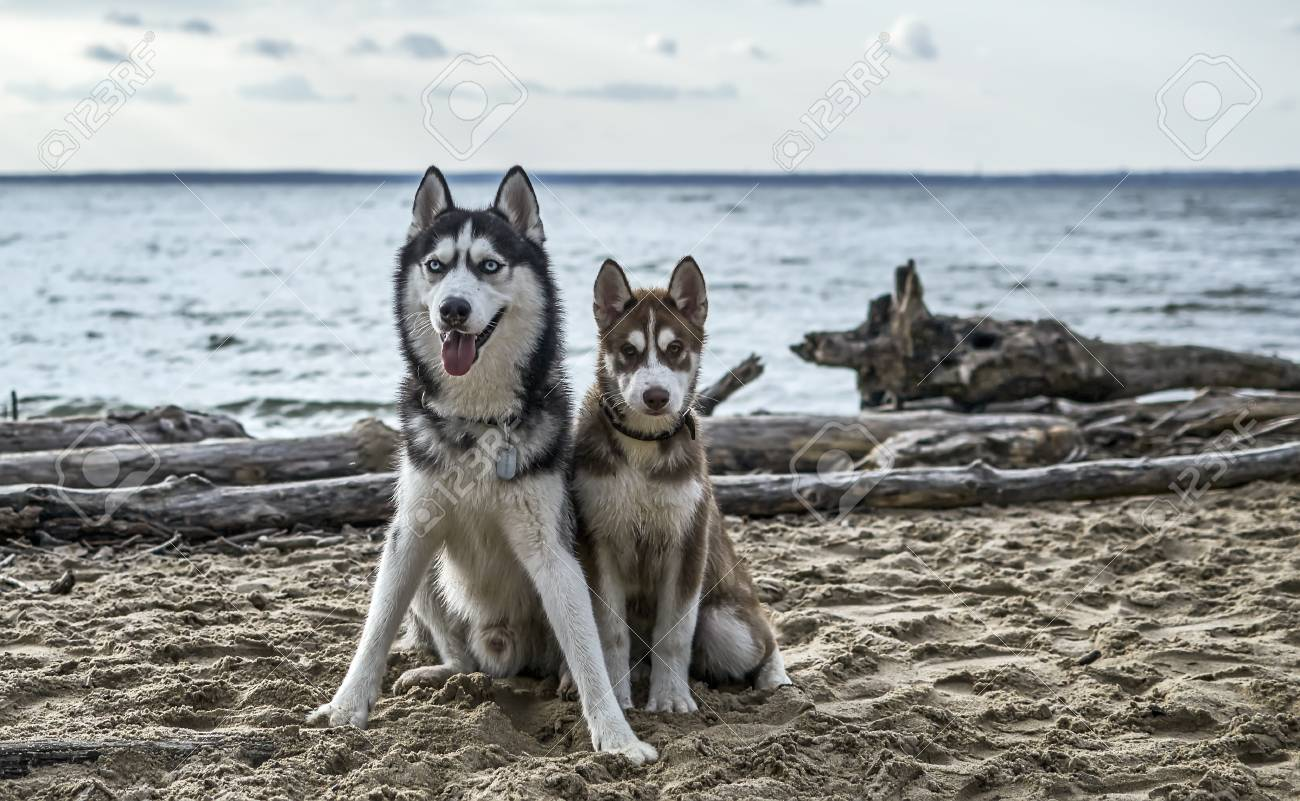 Beautiful Adult Black And White Siberian Husky Dog With Blue Stock