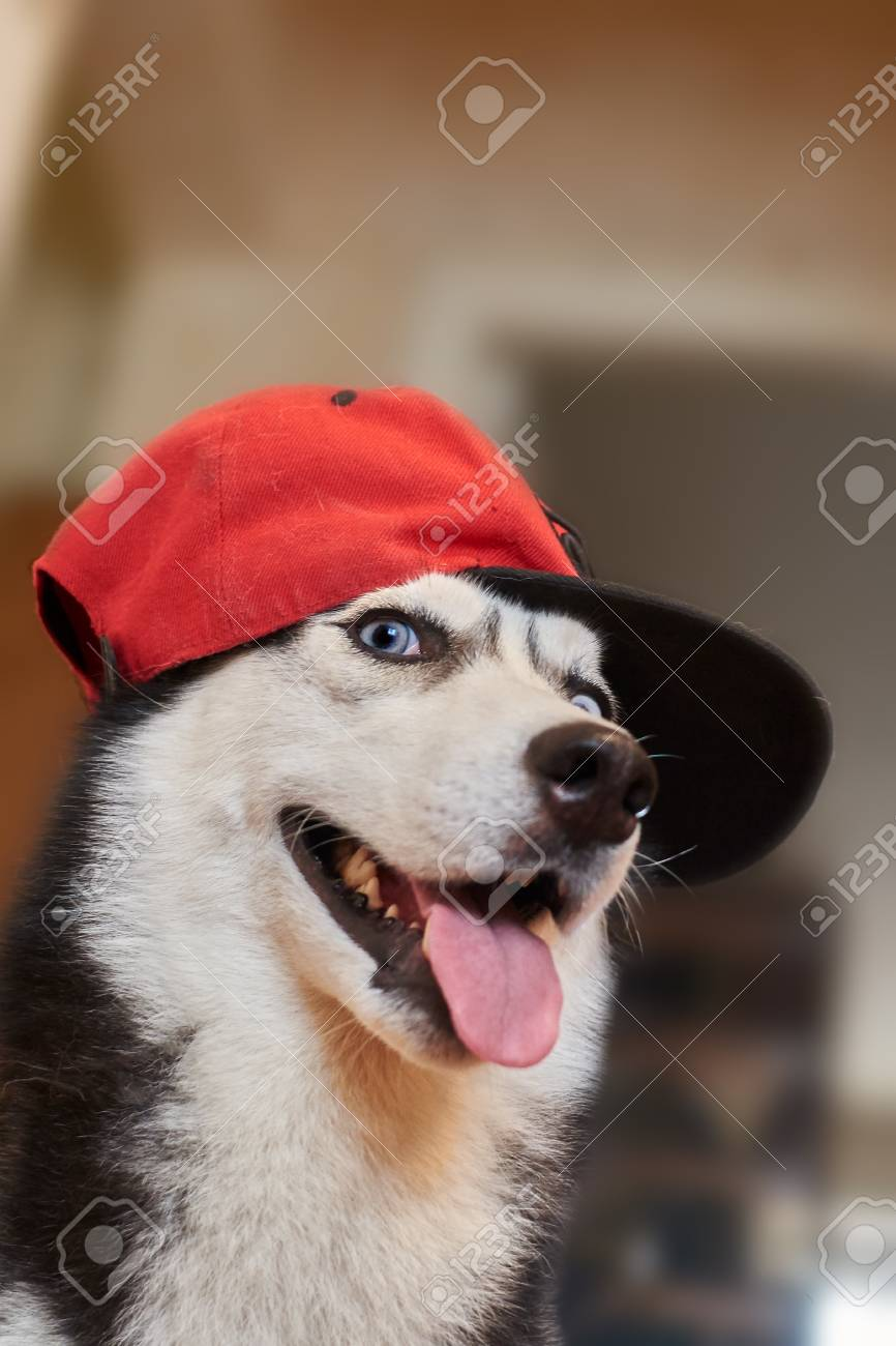 Funny Dog In A Red Baseball Cap Siberian Husky Is Black And Stock