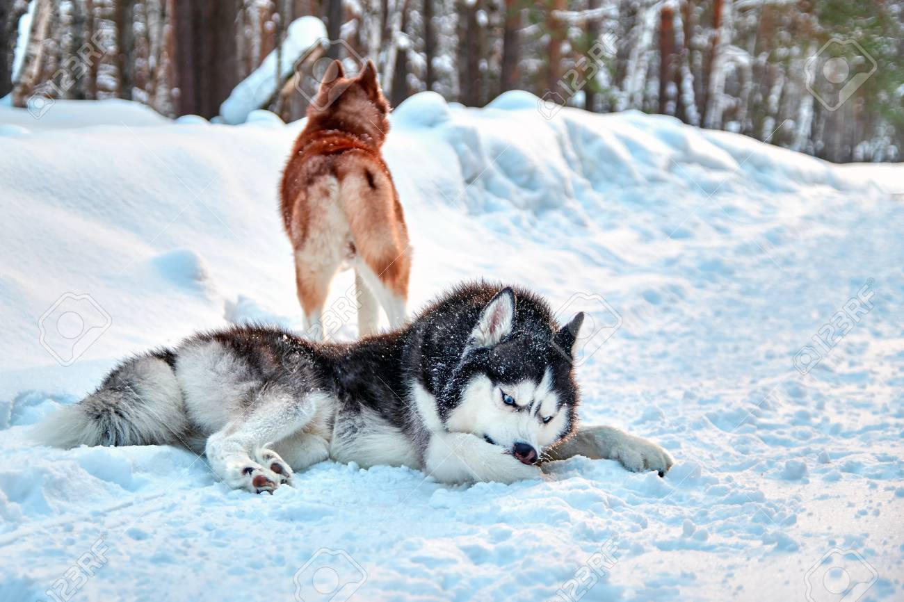 Husky Dog Cleaning Out Snow From Paws Siberian Husky With Blue