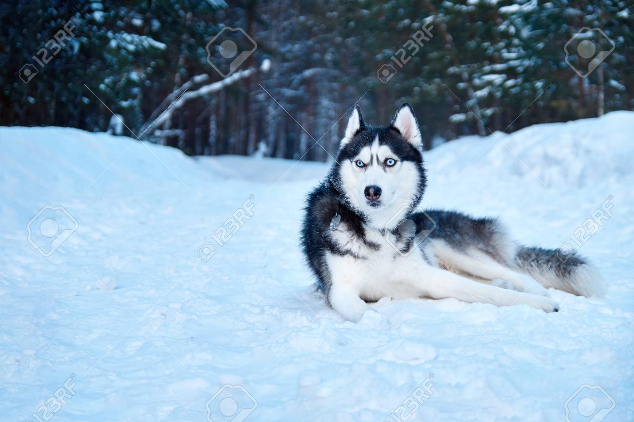 Beautiful Husky Dogs Walk In Winter Park Siberian Husky Black