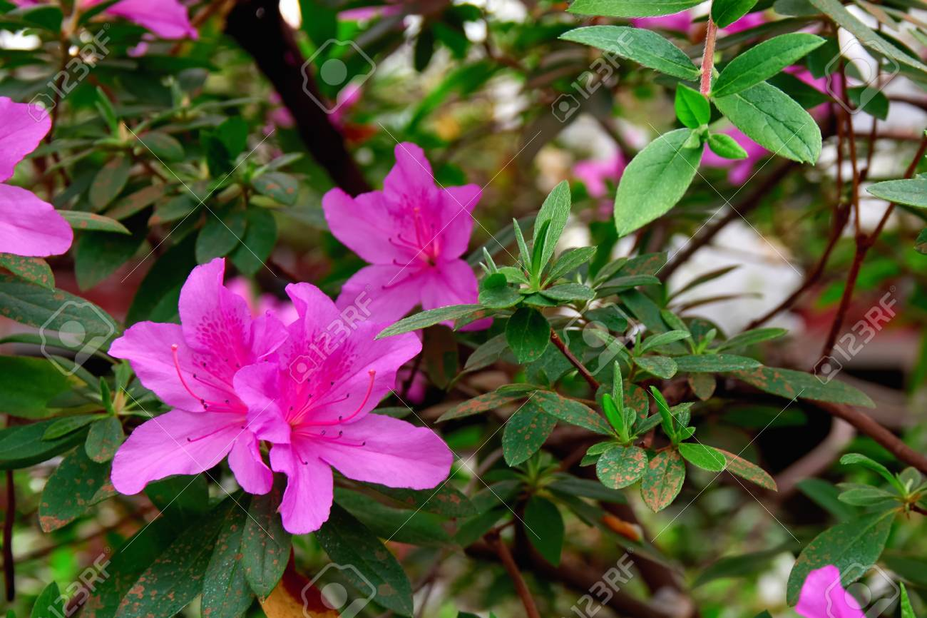 Flowers Azalea In Spring Garden Beautiful Potted Plant With Stock