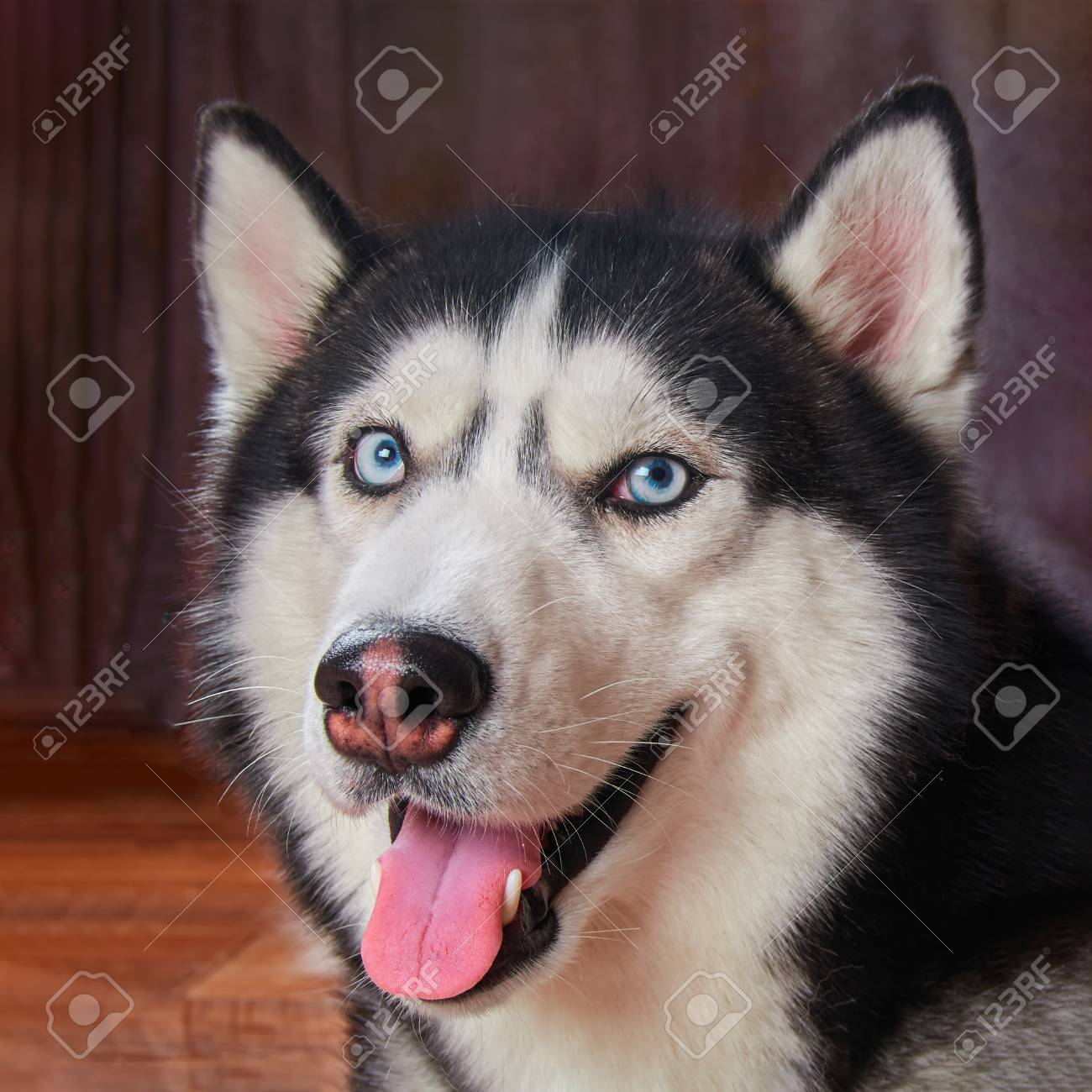 Happy Muzzle Dog Husky Looks At Photographer Siberian Husky