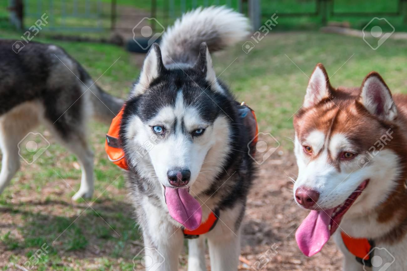 Portrait Of Two Beautiful Siberian Husky Husky Dogs Walk In Stock