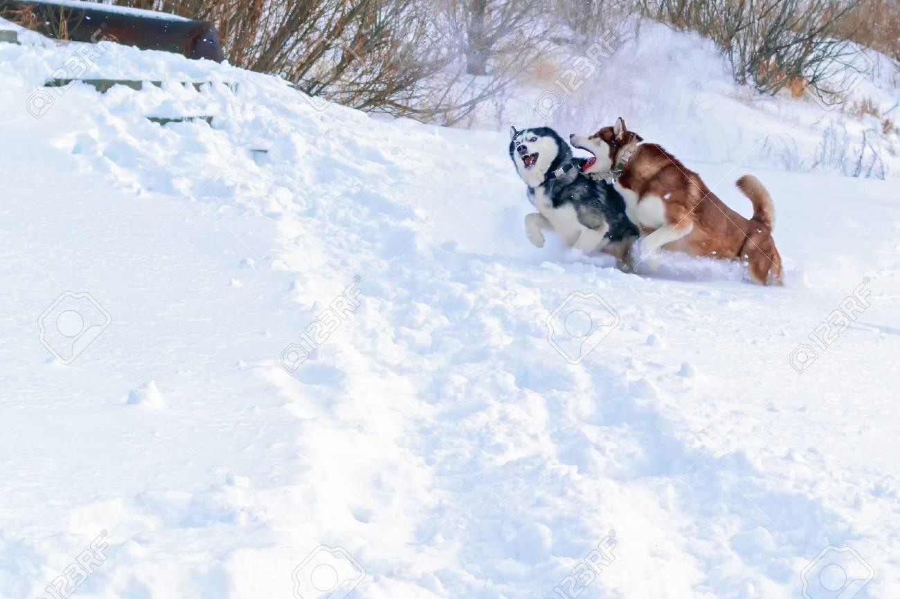 Siberian Husky Dogs Winter Happy Husky Run In White Snow