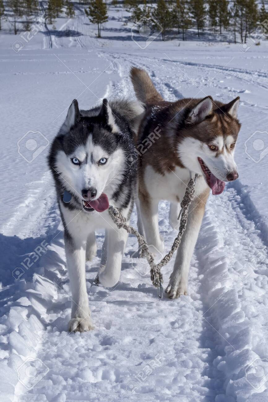 Running Dogs Siberian Husky Dogs In Sunny Winter Walk Front Stock Photo Picture And Royalty Free Image Image 121180954