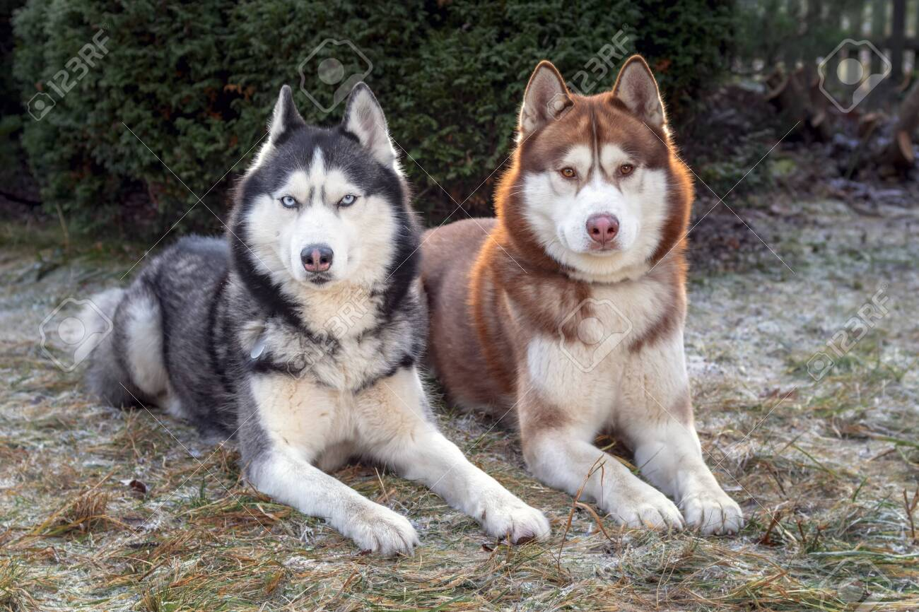 Beautiful Portrait Of Two Husky Dogs Lying On The Frost Covered Stock Photo Picture And Royalty Free Image Image 138419511