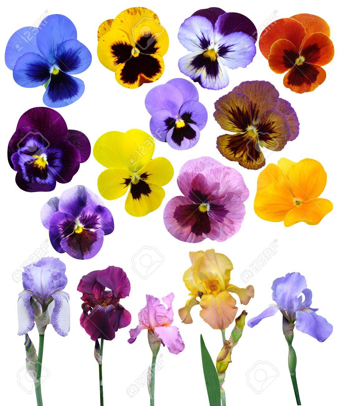 irises violet flowers it is isolated a holiday collection Stock Photo - 18632948
