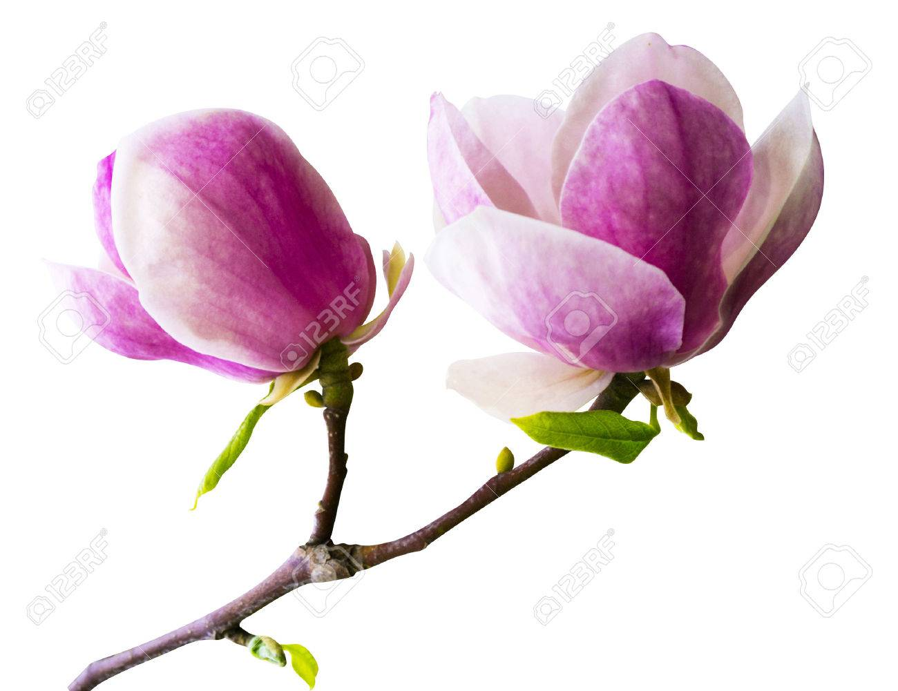 decoration of few magnolia flowers pink magnolia flower isolated