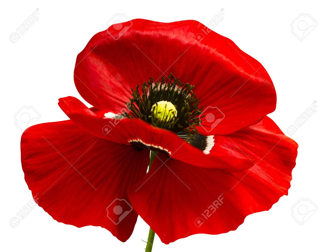 Coquelicot Coquelicot Rouge Isole Sur Blanc Pavot Background Red