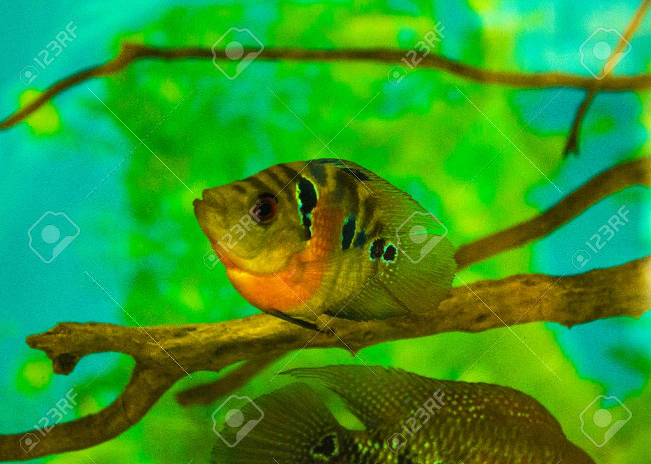 Aquarium Fish Cichlid Stock Photo Picture And Royalty Free Image