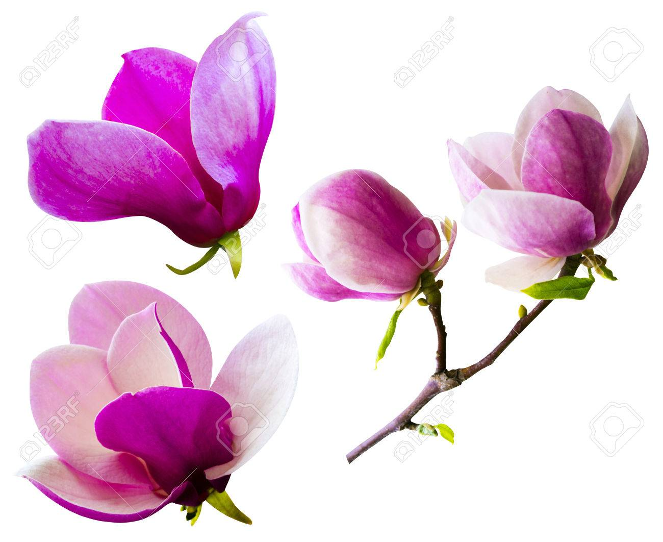 Decoration Of Few Magnolia Flowers Pink Magnolia Flower Isolated