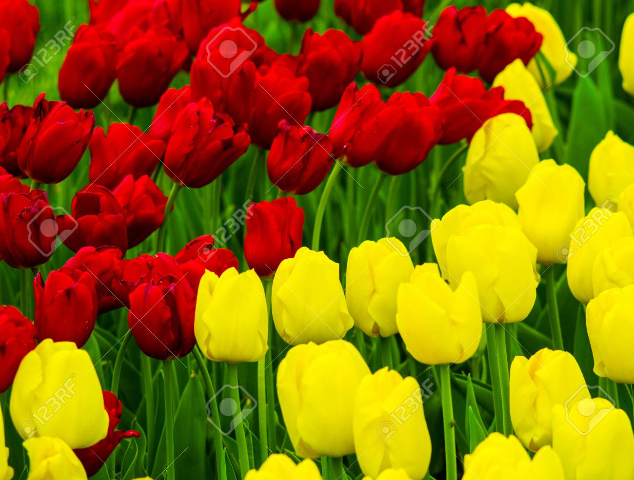 Flowers Tulips Yellow And Red Tulips Stock Photo Picture And