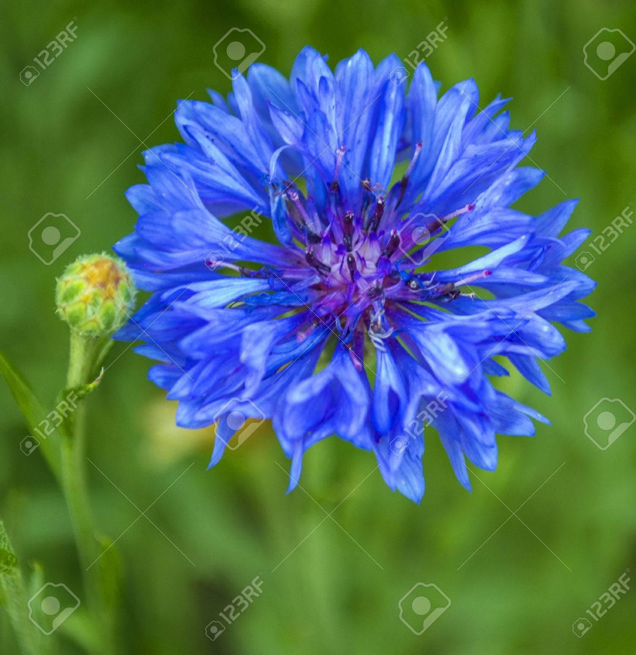 Cornflower blue blue cornflower in the garden stock photo picture cornflower blue blue cornflower in the garden stock photo 66545085 izmirmasajfo