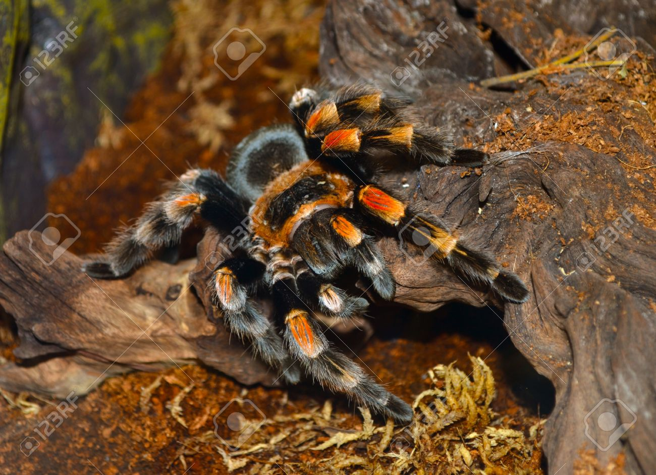 Tarantula Spider Yellow Legs Tarantula S Fang Macro Of The Stock Photo Picture And Royalty Free Image Image 70800602