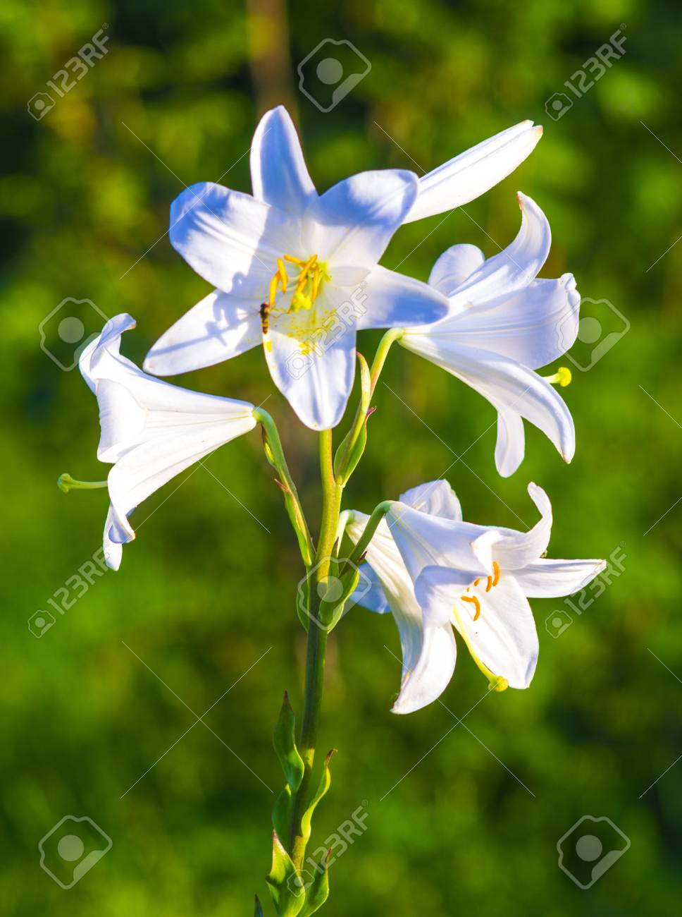 Lilies Madonna Lilyflowers Springlily On Whitewhite Flowers