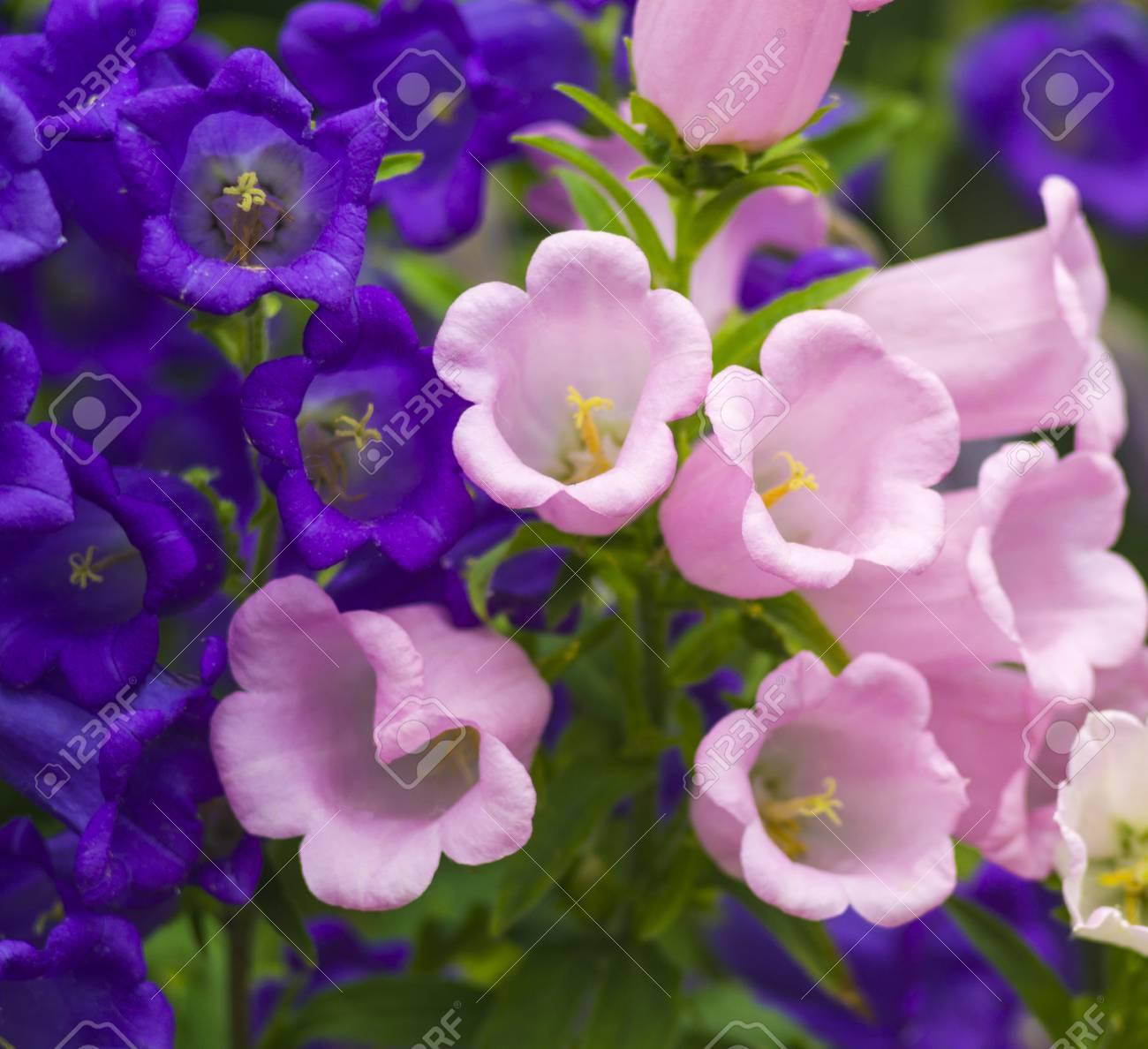 Blue bell flowerspurple bell flower beautiful spring background blue bell flowerspurple bell flower beautiful spring background with campanula bouquet stock mightylinksfo