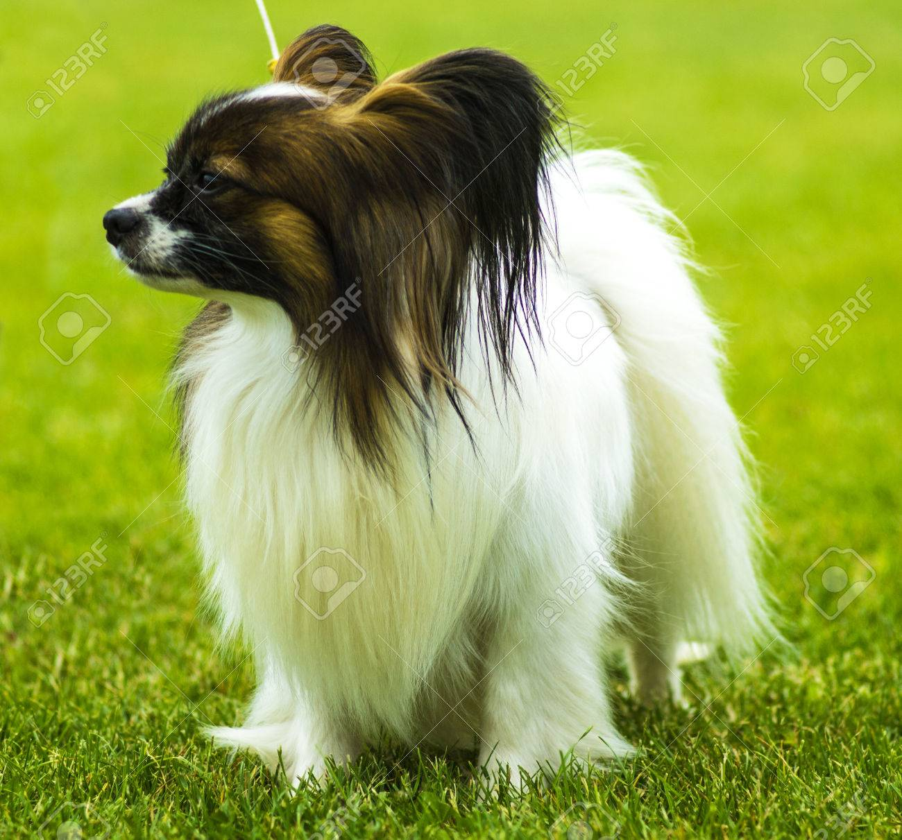 Close Up Portrait Of A Papillon A Small White And Red Papillon