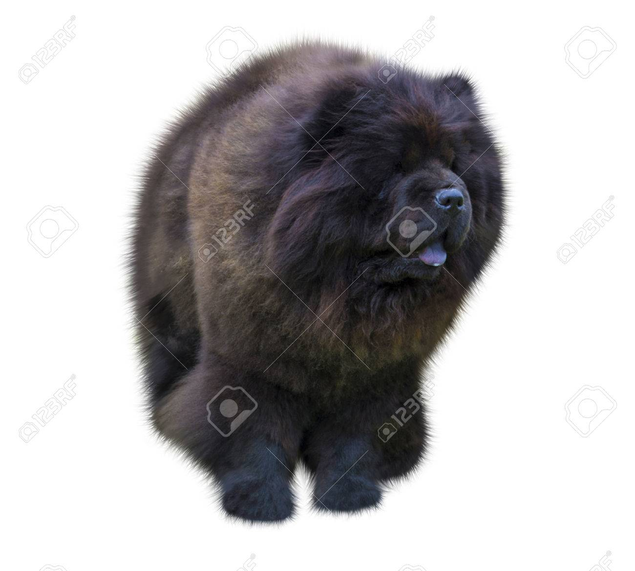 Dog Chow Chow Chow Chow Dog In Front Of White Background Black