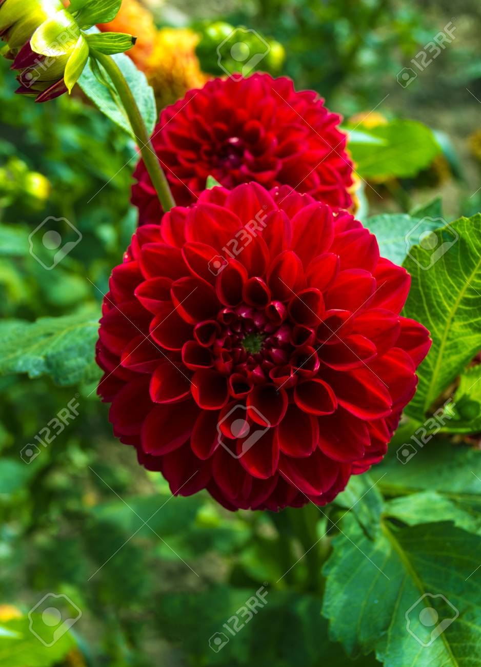 Red Dahlia Flower Beautiful Dahlia Flower Stock Photo Picture And